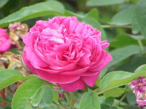 Organic Rose Gardening Made Simple